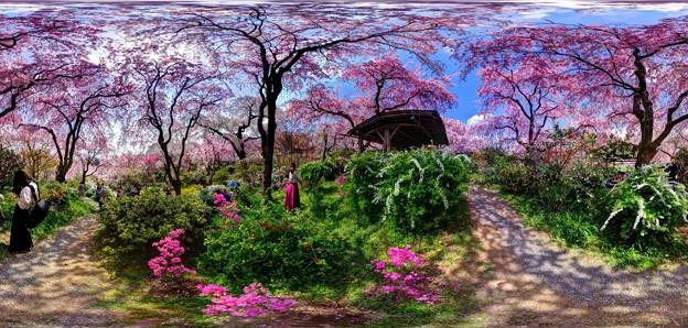 京都・原谷苑の桜 360度パノラマ写真(4)