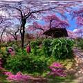 写真: 京都・原谷苑の桜 360度パノラマ写真(4)