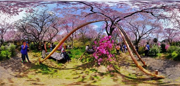京都・原谷苑の桜 360度パノラマ写真(6)