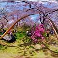 写真: 京都・原谷苑の桜 360度パノラマ写真(6)