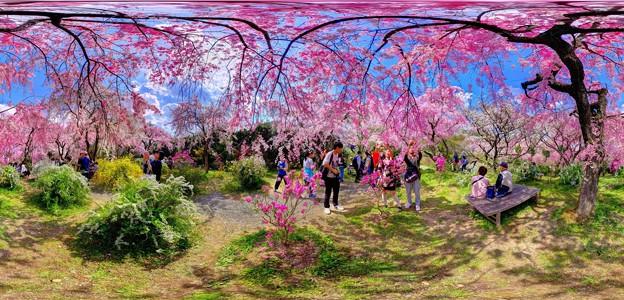 京都・原谷苑の桜 360度パノラマ写真(7)