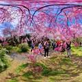 写真: 京都・原谷苑の桜 360度パノラマ写真(7)