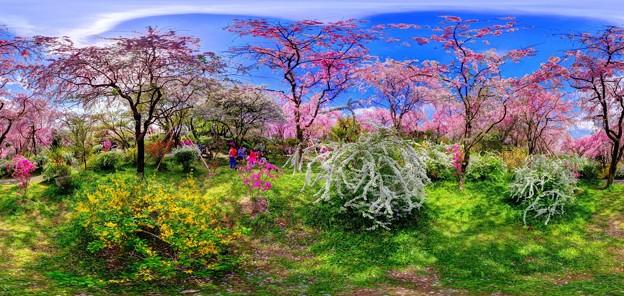 京都・原谷苑の桜 360度パノラマ写真(8)