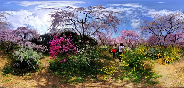 京都・原谷苑の桜 360度パノラマ写真(10)