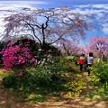 写真: 京都・原谷苑の桜 360度パノラマ写真(10)