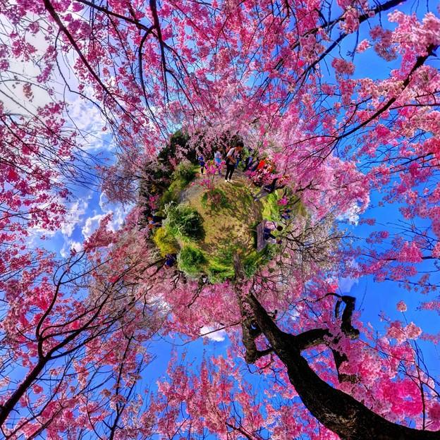2018年4月4日 京都 原谷苑 桜 360度パノラマ写真(7) Little Planet