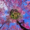 写真: 2018年4月4日 京都 原谷苑 桜 360度パノラマ写真(7) Little Planet