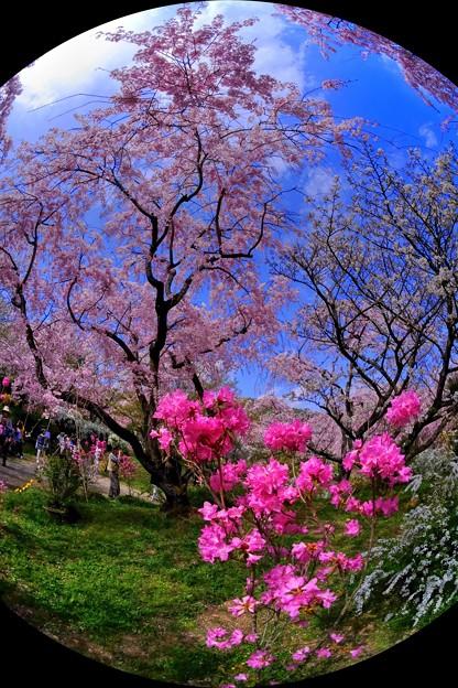 2018年4月4日 京都 原谷苑 桜(3)