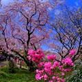 写真: 2018年4月4日 京都 原谷苑 桜(3)