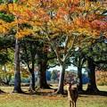 奈良公園 飛火野園地 紅葉(2)