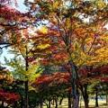 Photos: 奈良公園 春日野園地 紅葉(1)