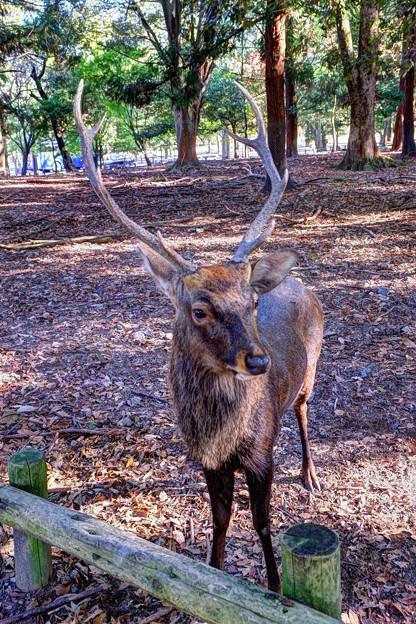 鹿 奈良公園(2)