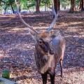 Photos: 鹿 奈良公園(2)