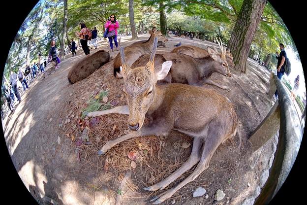 鹿 奈良公園(5)