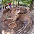 Photos: 鹿 奈良公園(5)