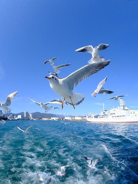 ユリカモメ  清水港にて (3)