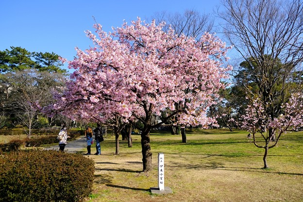 早咲きの桜、 駿府城公園 伊東小室桜(1)