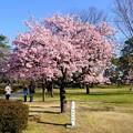 Photos: 早咲きの桜、 駿府城公園 伊東小室桜(1)