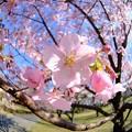 早咲きの桜、 駿府城公園 伊東小室桜(2)