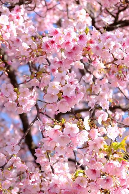 早咲きの桜、 駿府城公園 伊東小室桜(3)
