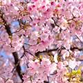 Photos: 早咲きの桜、 駿府城公園 伊東小室桜(3)