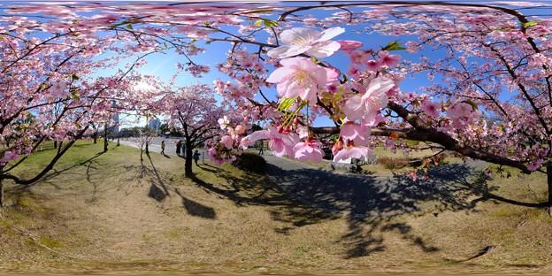 早咲きの桜、 駿府城公園 伊東小室桜 360度パノラマ写真