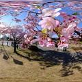 Photos: 早咲きの桜、 駿府城公園 伊東小室桜 360度パノラマ写真
