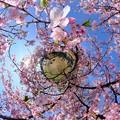 Photos: 早咲きの桜、 駿府城公園 伊東小室桜 Little Planet