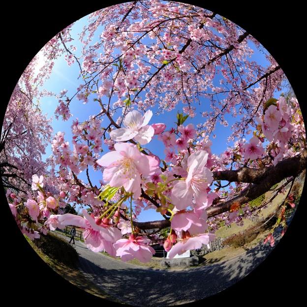 早咲きの桜、 駿府城公園 伊東小室桜 魚眼風180度