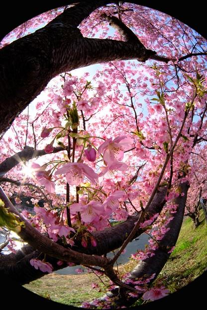 河津桜 (4)