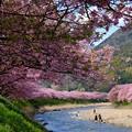 河津桜 (8)