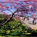 河津桜 360度パノラマ写真