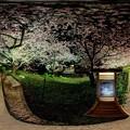河津桜 ライトアップ 360度パノラマ写真