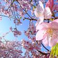 早咲きの桜、 駿府城公園 伊東小室桜(4)