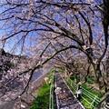 2020年4月6日 長尾川左岸 桜
