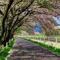 桜並木(2) 長尾川河畔