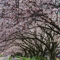 桜並木(1) 長尾川河畔