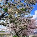 山桜とソメイヨシノの並木 長尾川河畔