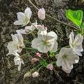 胴吹きの桜(1) 長尾川河畔
