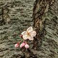 胴吹きの桜(2) 長尾川河畔