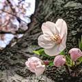 胴吹きの桜(3) 長尾川河畔