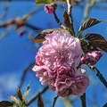 八重桜(1) 長尾川河畔