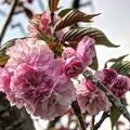 八重桜(2) 長尾川河畔