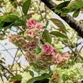 ウコン桜(1) 長尾川河畔