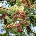 ウコン桜(2) 長尾川河畔