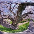 長尾川河畔 左岸 桜 360度パノラマ写真(1)