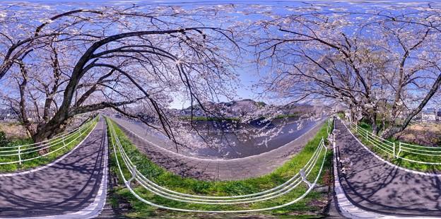 長尾川河畔 左岸 桜 360度パノラマ写真(3)
