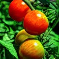 家庭菜園 ミニトマト(1)
