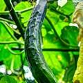 Photos: 家庭菜園 胡瓜