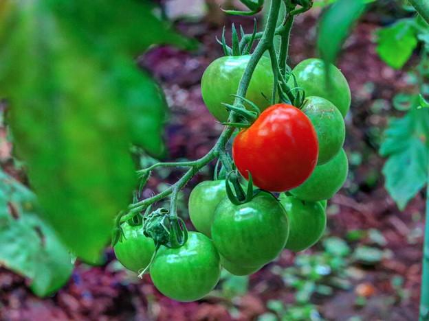 家庭菜園 ミニトマト(2)